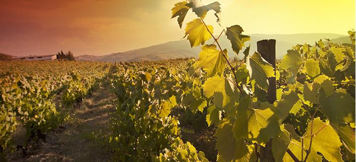 CA Vineyards