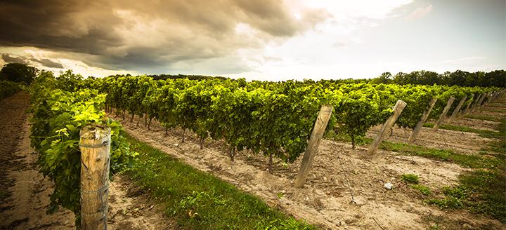 Wineries in Niagara