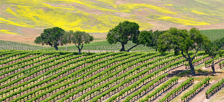 Wineries in Santa Barbara