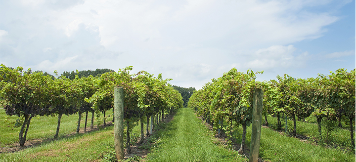North Carolina Vineyards