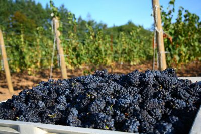 WHY DOES PINOT NOIR GROW SO WELL IN OREGON?