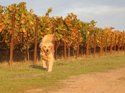 WHY ARE SOME WINERIES DOG FRIENDLY AND OTHERS NOT