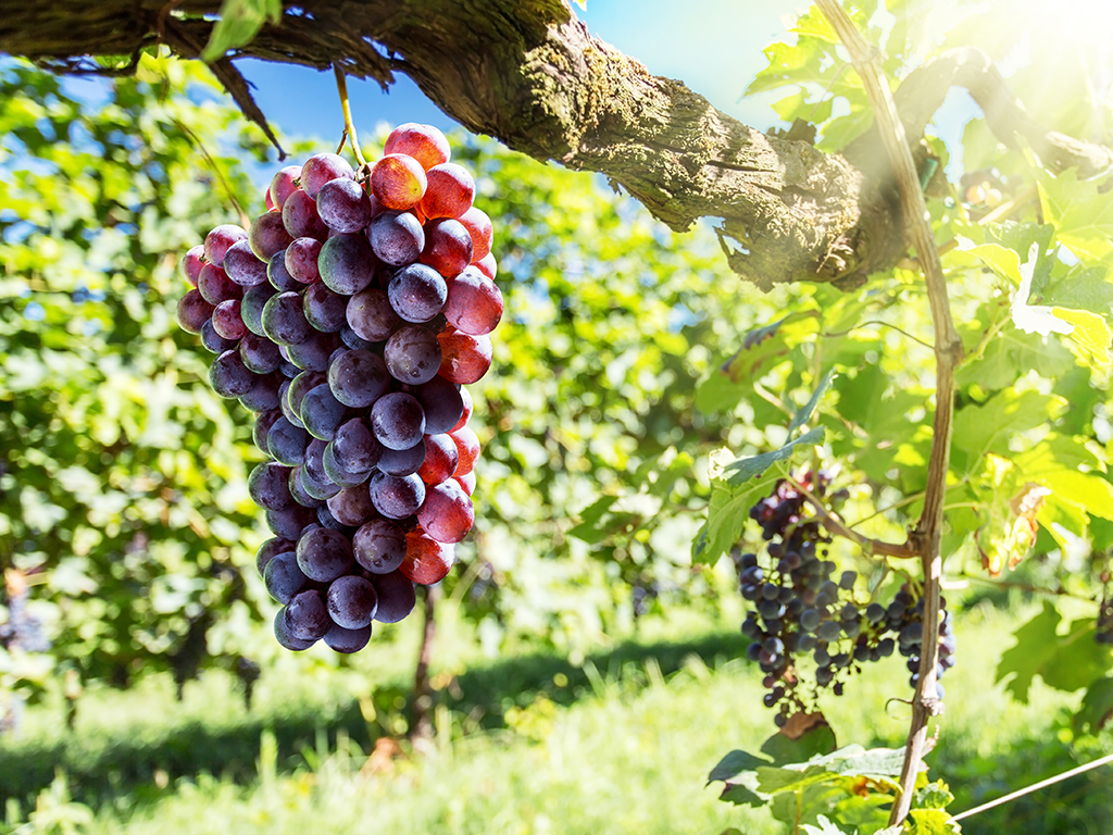 10 Red Wine Grape Names that Make Fantastic Wines | Kazzit US Wineries & International Winery Guide