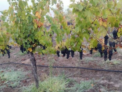 Davis Family Vineyards