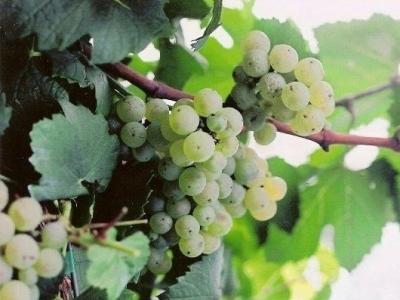 Victoria Valley Vineyards