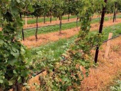 Keeling-Schaefer Vineyards