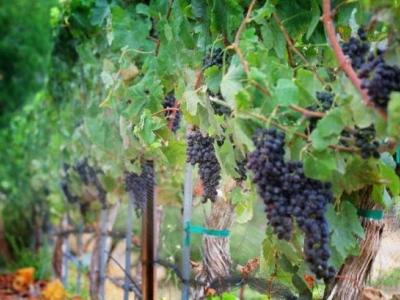 Trancas Vineyards