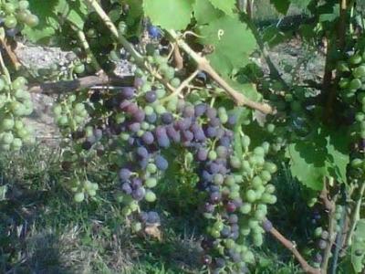 Kacaba Vineyards