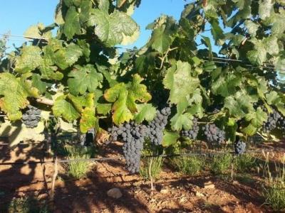Wilhelm Family Vineyards