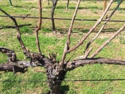 Savino Vineyards
